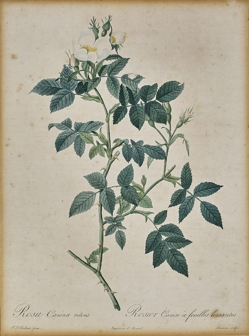HAND-COLORED ENGRAVING BY PIERRE-JOSEPH REDOUTE