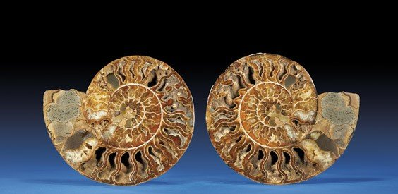 SLICED MOROCCAN AMMONITE