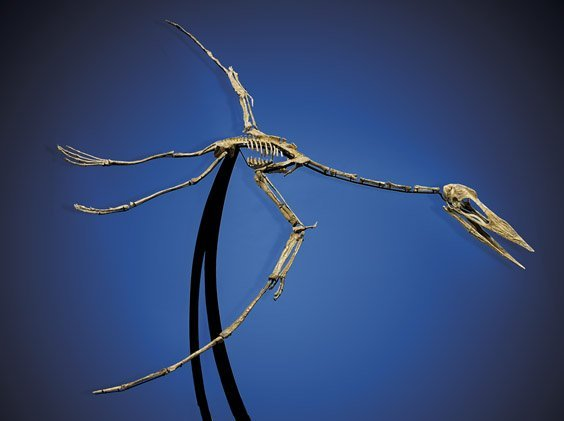 WORLD-CLASS PTEROSAUR SKELETON