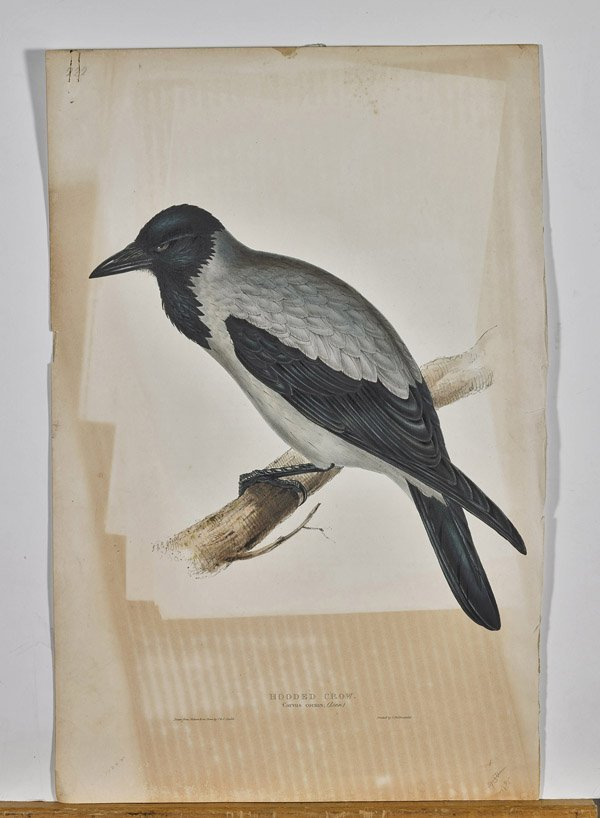 Two Antique English Lithographs by John Gould: Birds - 2