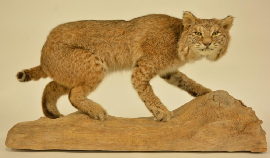 Full Body Bobcat Mount On Wooden Base