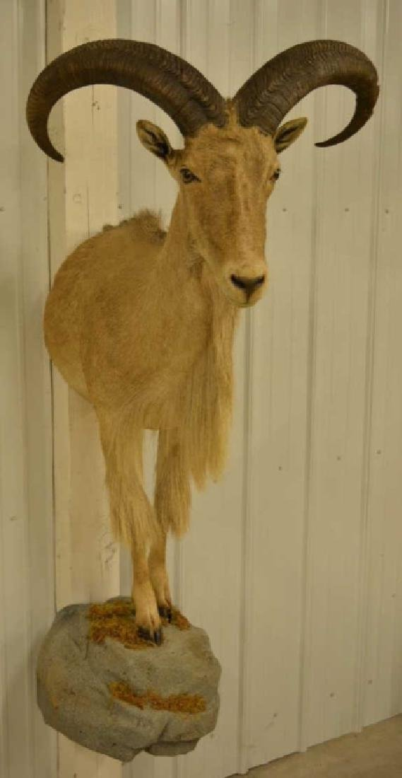 Barbary Sheep Half Mount