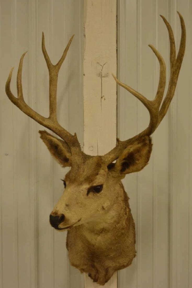 9-Point Mule Deer Shoulder Mount