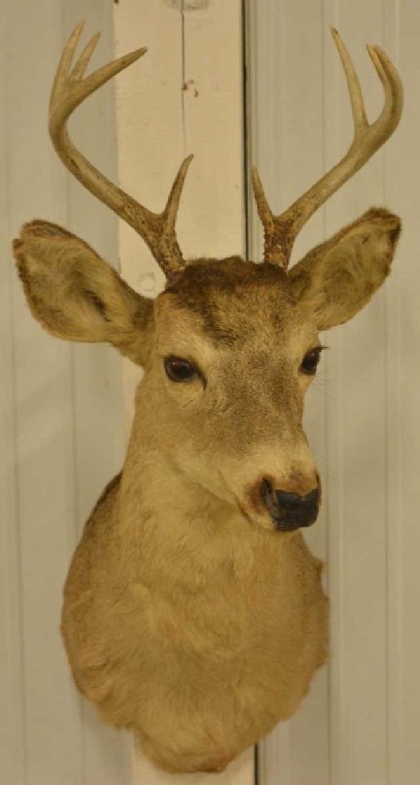 8-Point Mule Deer Shoulder Mount