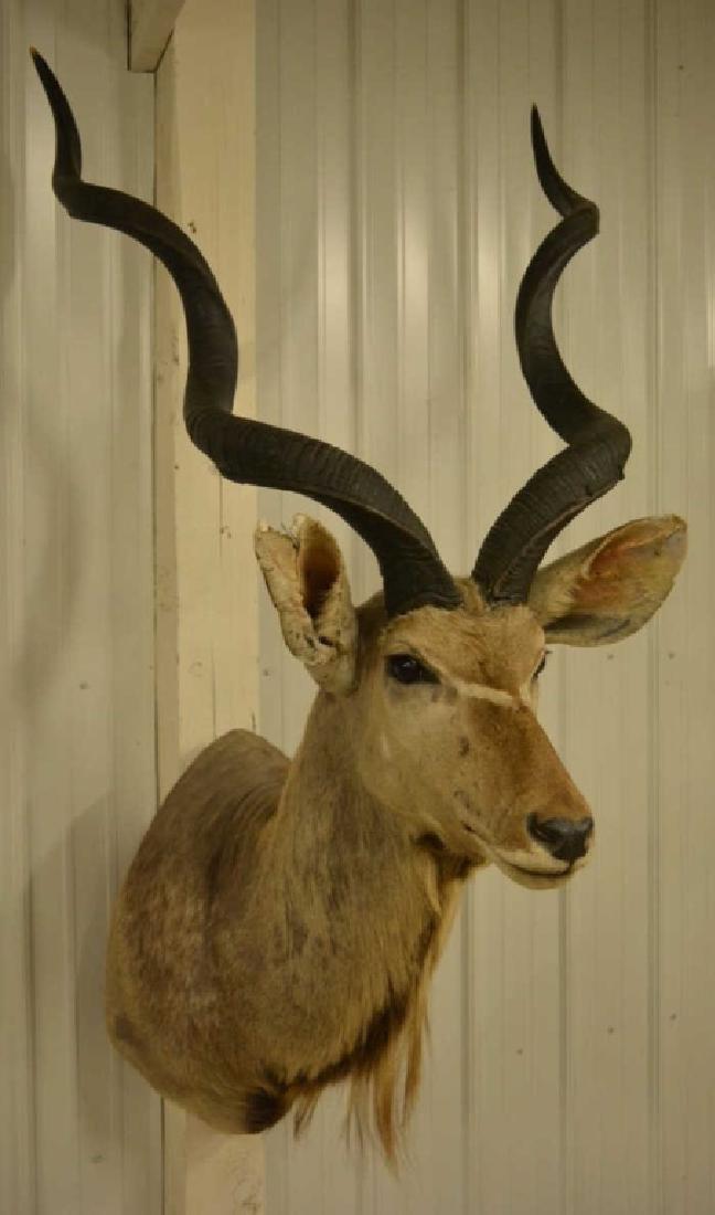 Large African Kudu Shoulder Mount