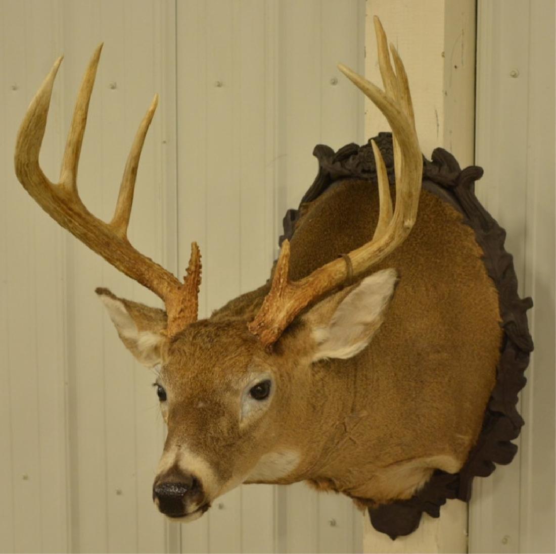 9-Point Whitetail Deer Shoulder Mount