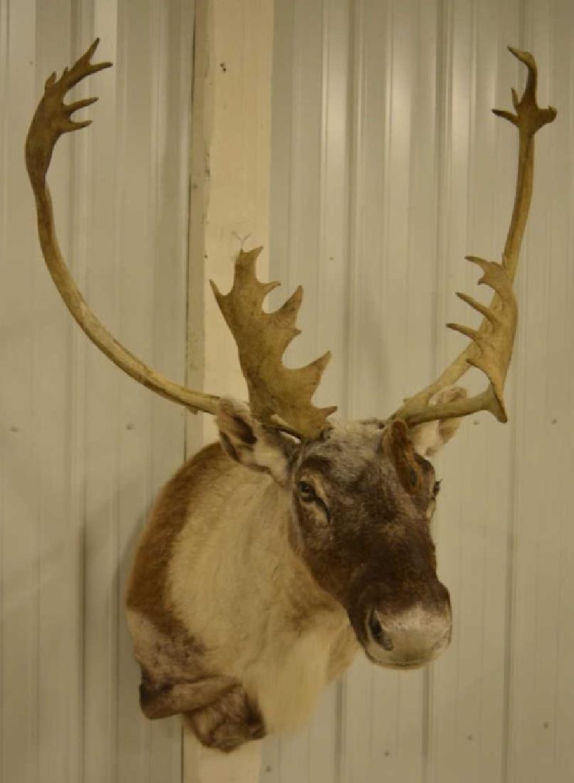 Large Caribou Shoulder Mount