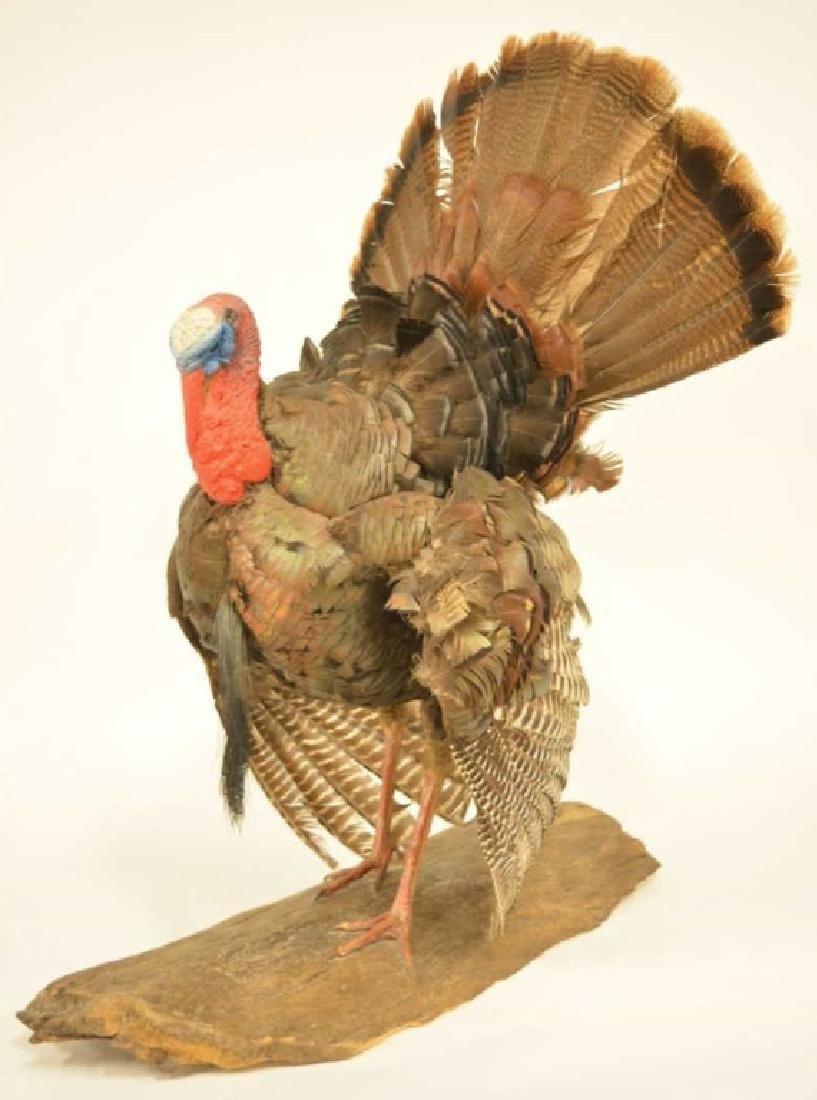 Wild Turkey Full Body Mount