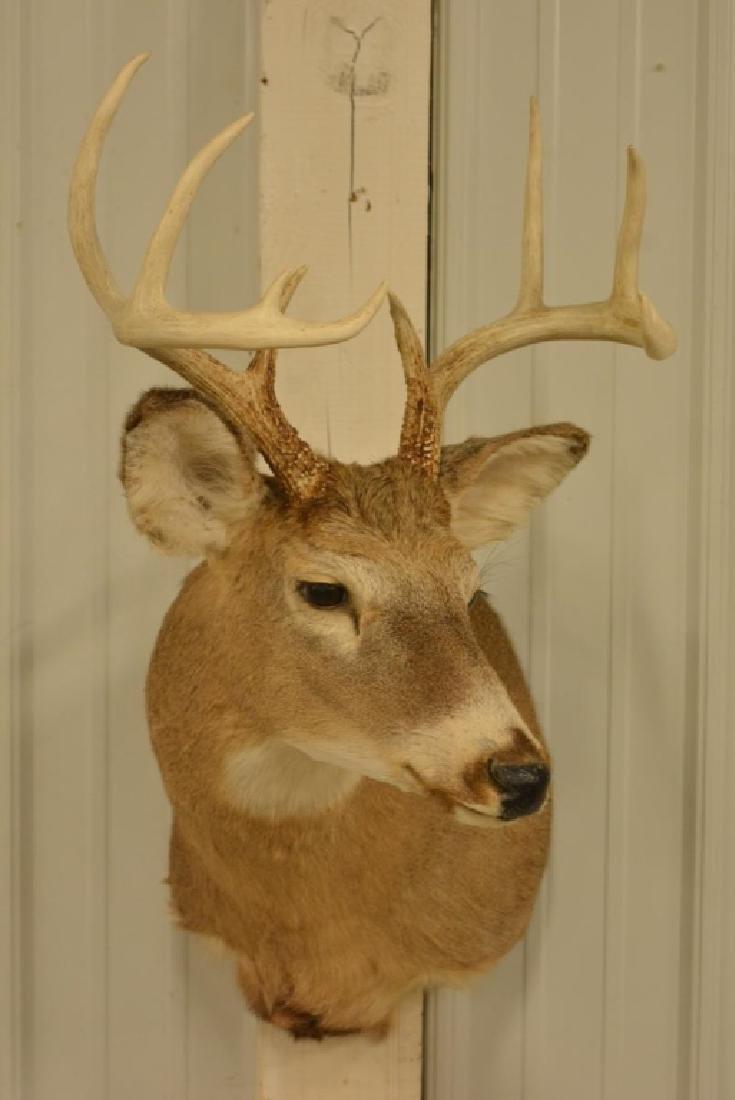10-Point Whitetail Deer Shoulder Mount