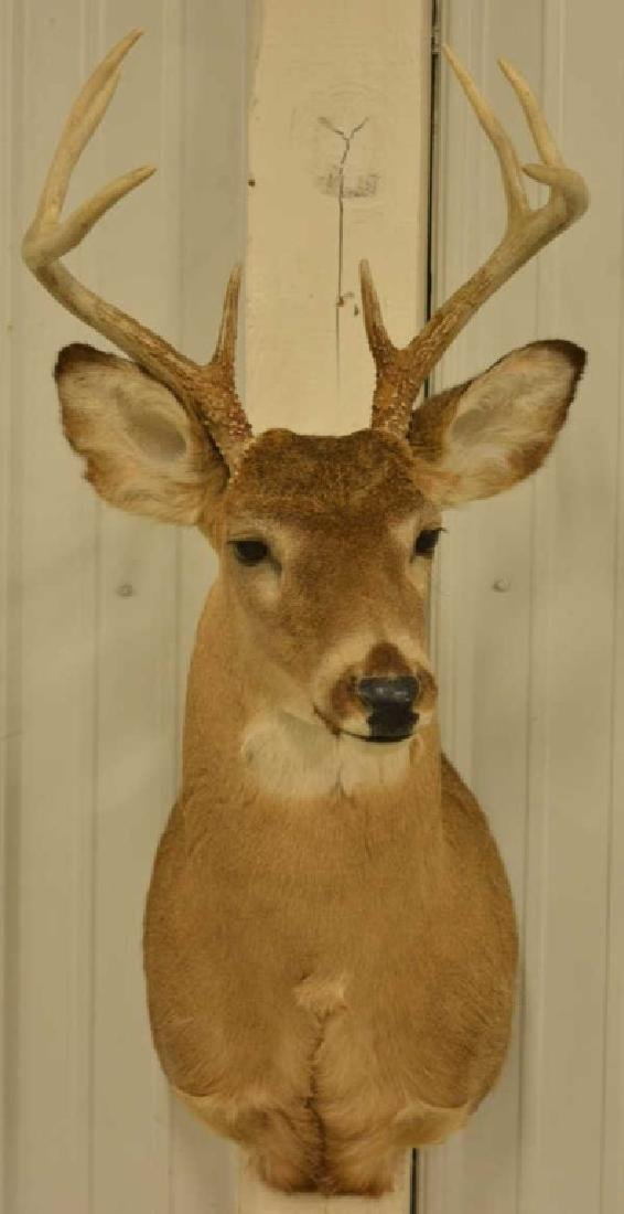 8-Point Whitetail Deer Shoulder Mount