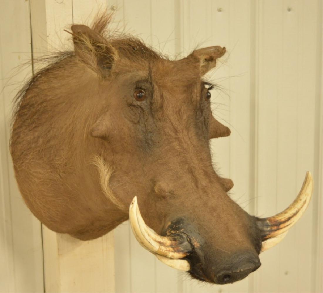 African Warthog Shoulder Mount