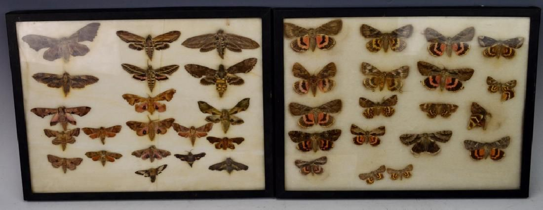 Framed Moth Grouping