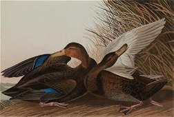 36: after John James Audubon (1785-1851)