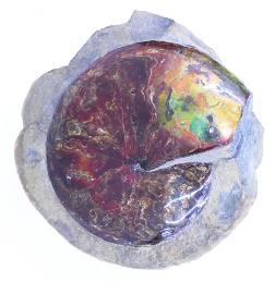 Large Iridescent Ammonite Fossil in Matrix
