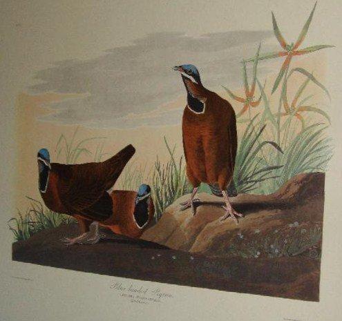 89: Audubon Blue-Headed Pigeon Amsterdam