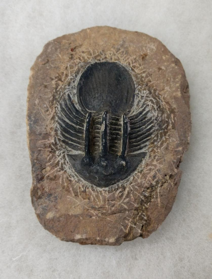 Rare Fossil Trilobite