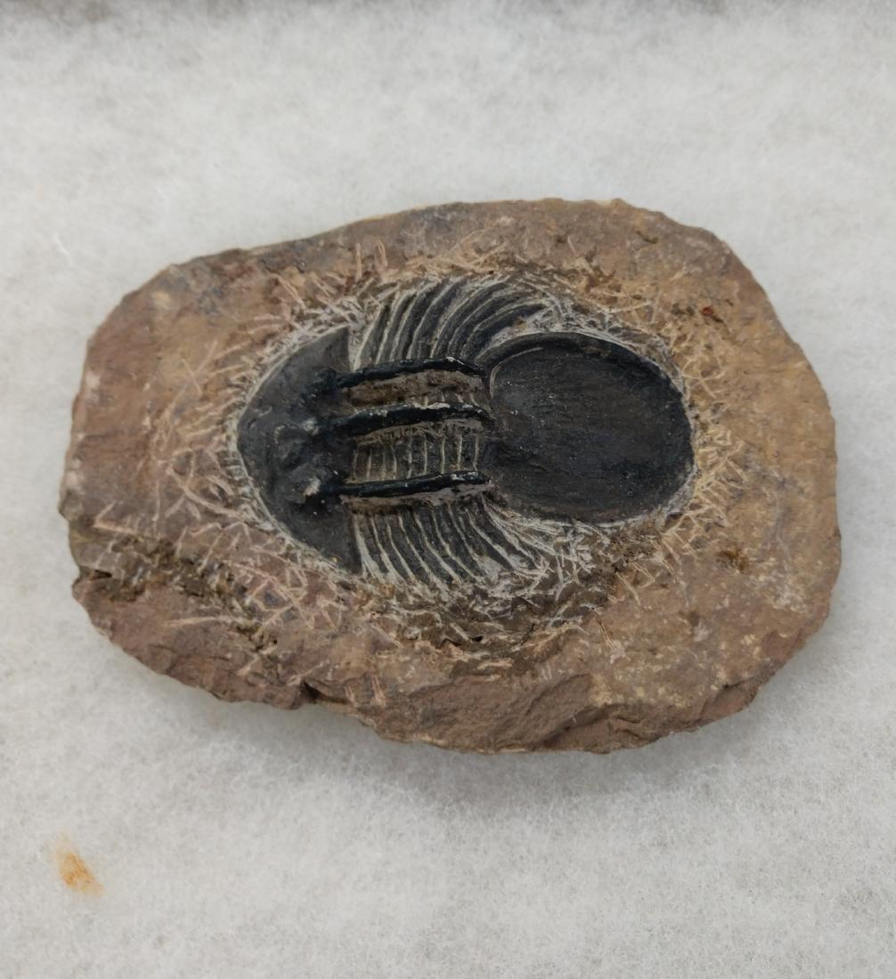 Rare Fossil Trilobite - 2