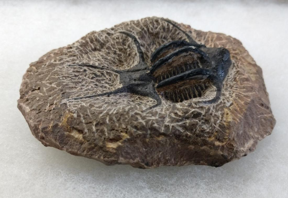 Rare Fossil Trilobite - 5