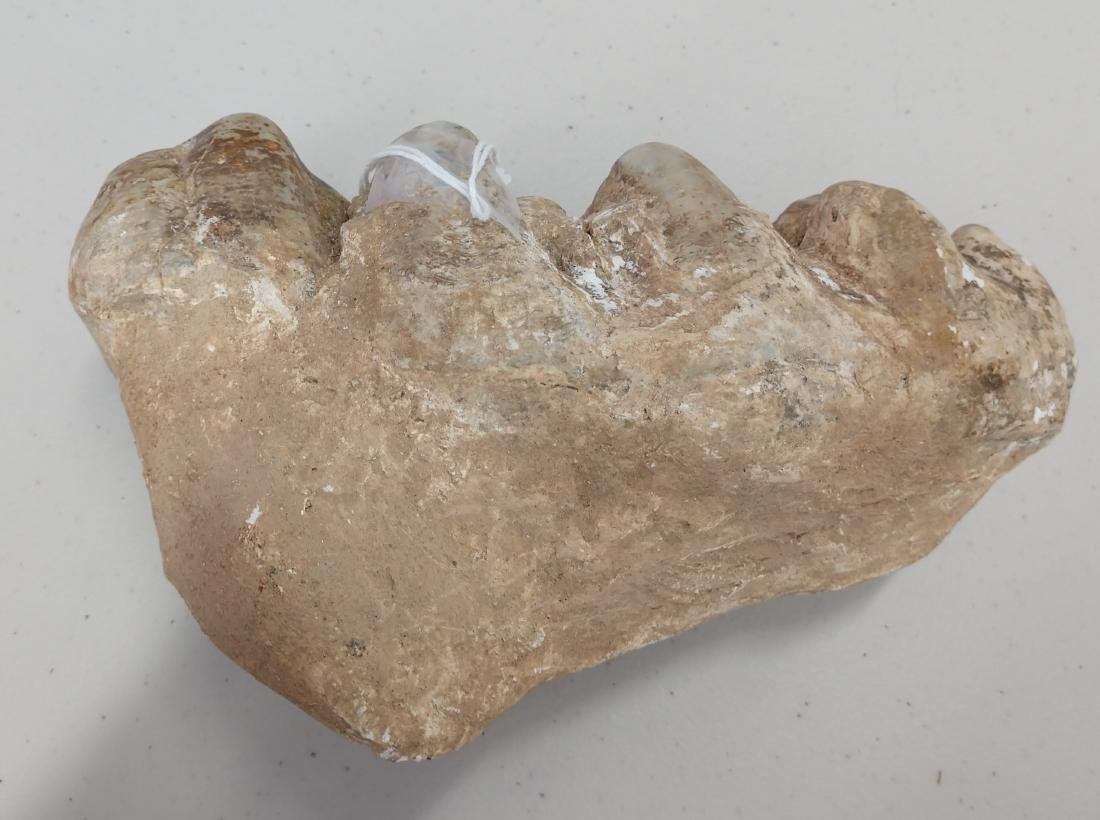 Authentic Mastadon Tooth