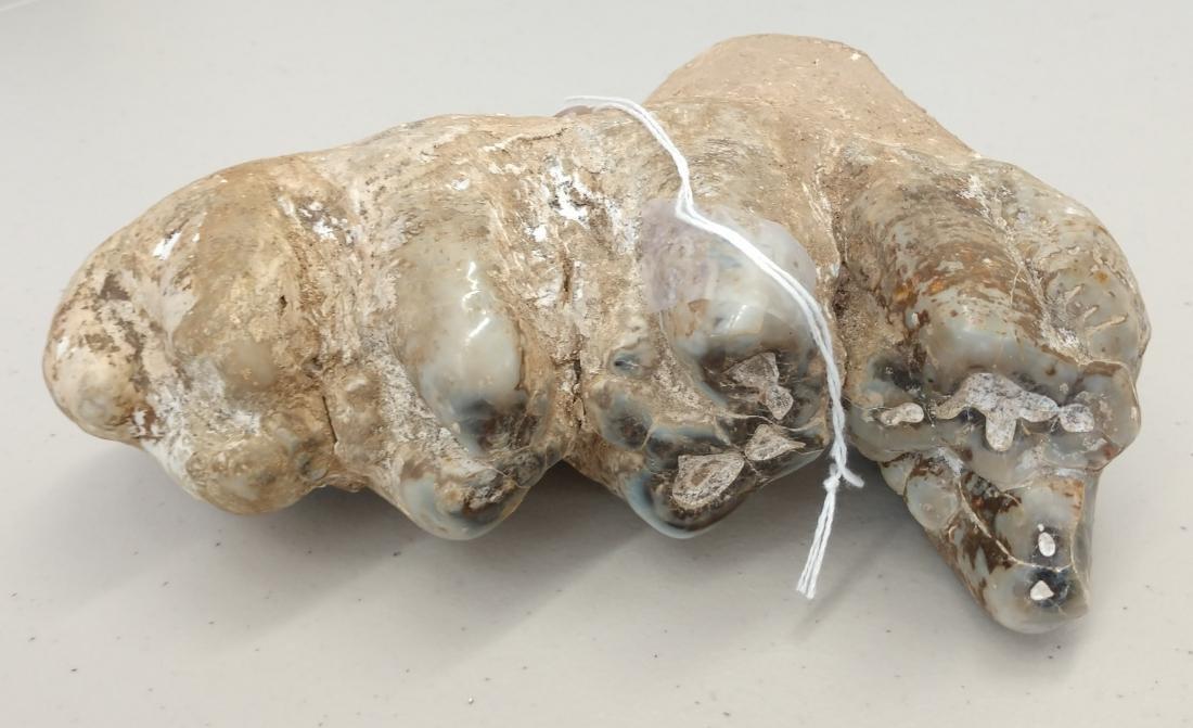 Authentic Mastadon Tooth - 2