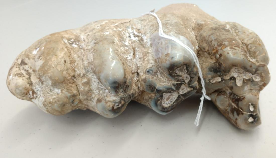 Authentic Mastadon Tooth - 7
