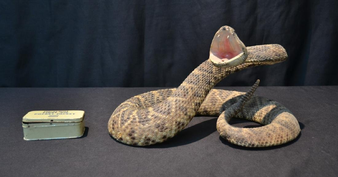 TAXIDERMY RATTLE SNAKE IN COILED POSITION
