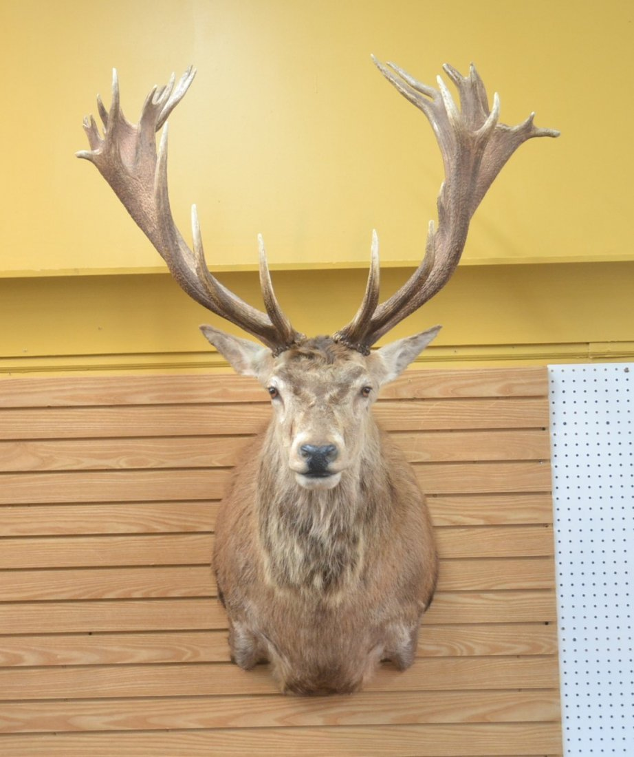 LARGE RED STAG TAXIDERMY MOUNT