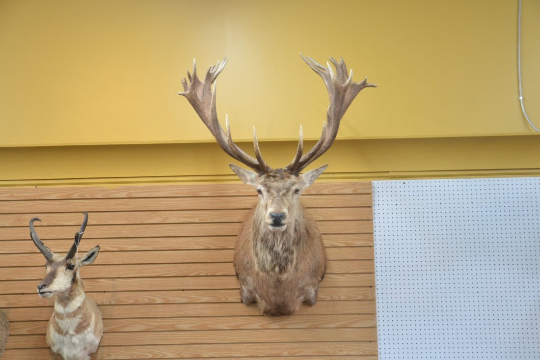 LARGE RED STAG TAXIDERMY MOUNT - 2