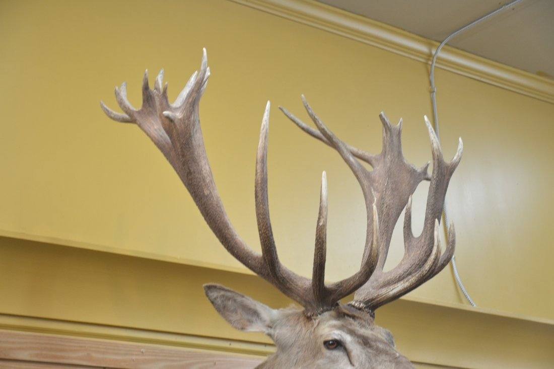 LARGE RED STAG TAXIDERMY MOUNT - 4