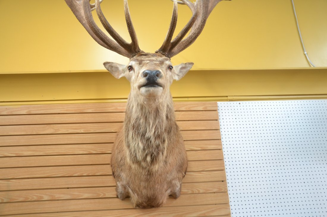 LARGE RED STAG TAXIDERMY MOUNT - 8