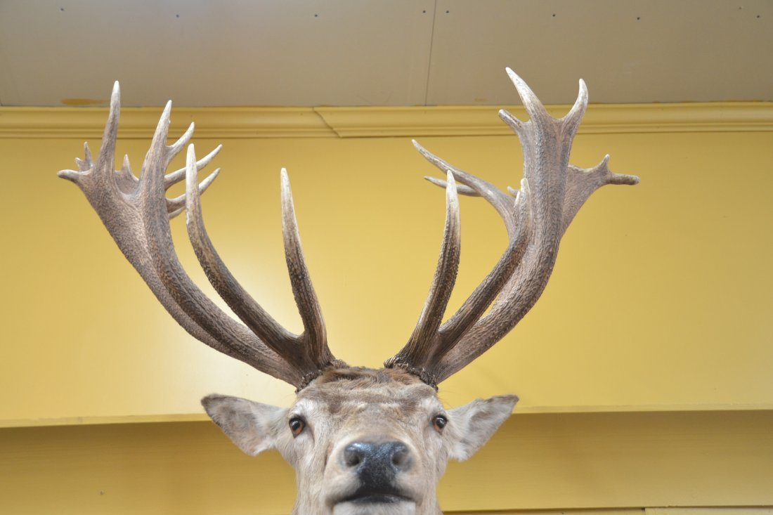 LARGE RED STAG TAXIDERMY MOUNT - 9