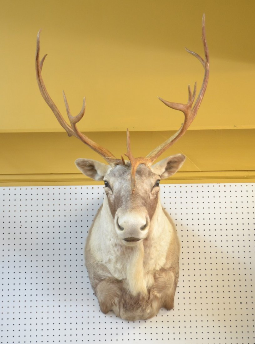 CARIBOU TAXIDERMY MOUNT WITH