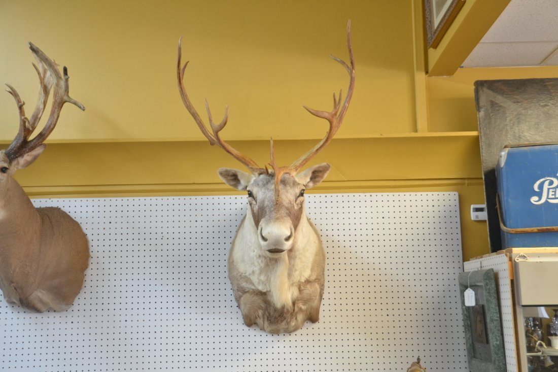 CARIBOU TAXIDERMY MOUNT WITH - 2