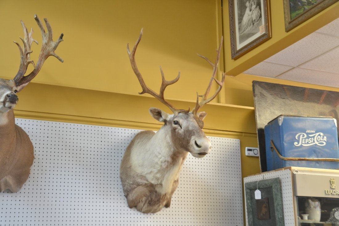 CARIBOU TAXIDERMY MOUNT WITH - 3