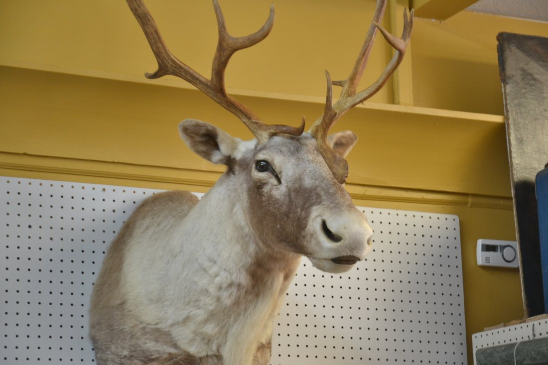 CARIBOU TAXIDERMY MOUNT WITH - 4
