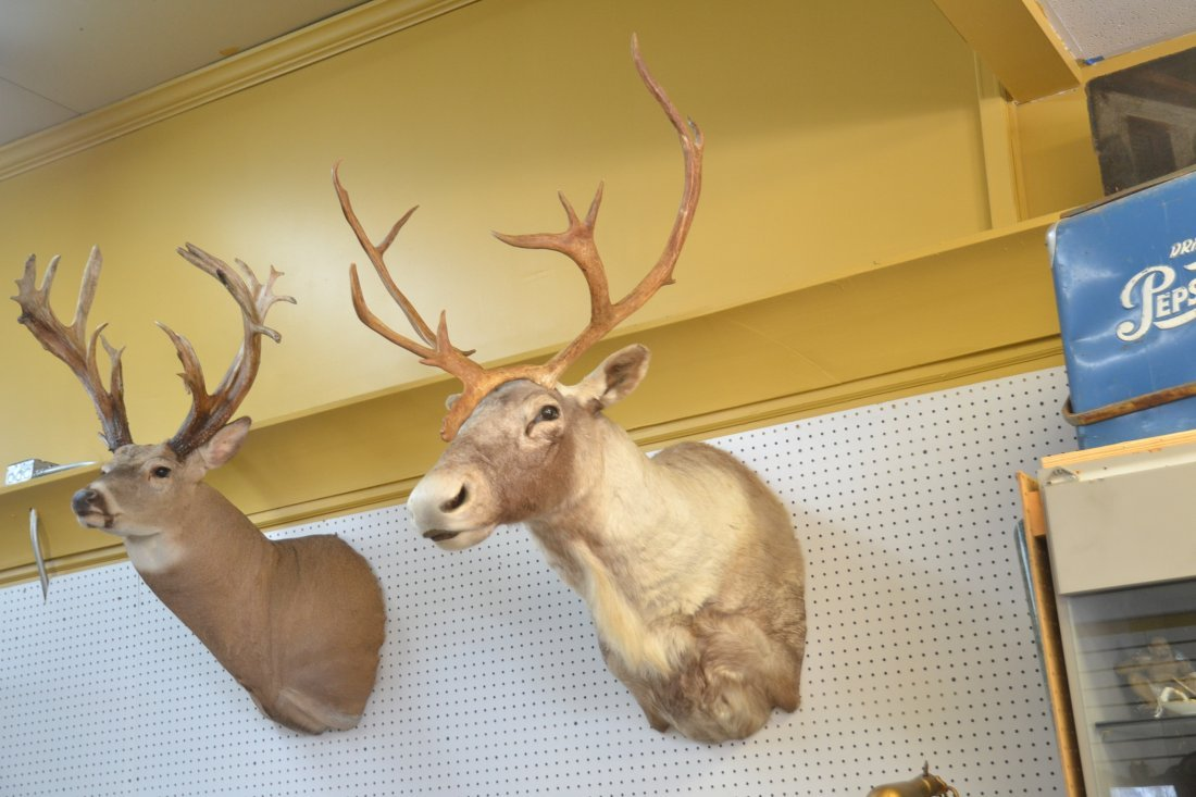 CARIBOU TAXIDERMY MOUNT WITH - 5