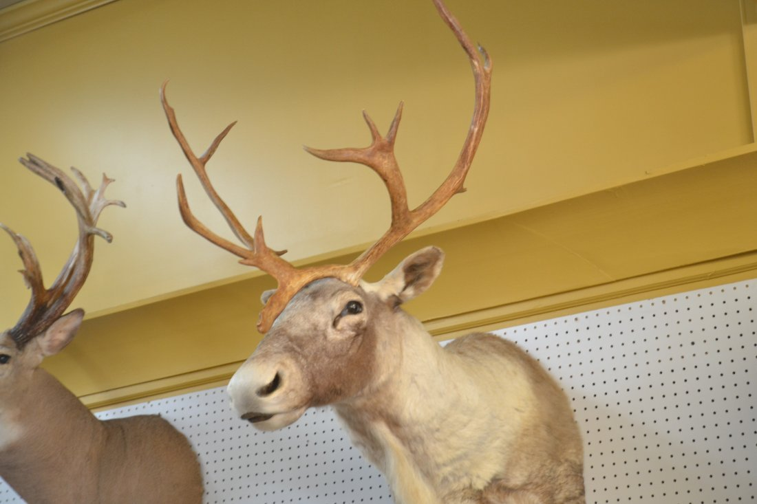 CARIBOU TAXIDERMY MOUNT WITH - 6