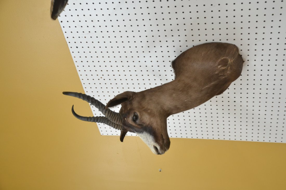BLACK SPRINGBOK TAXIDERMY MOUNT - 3