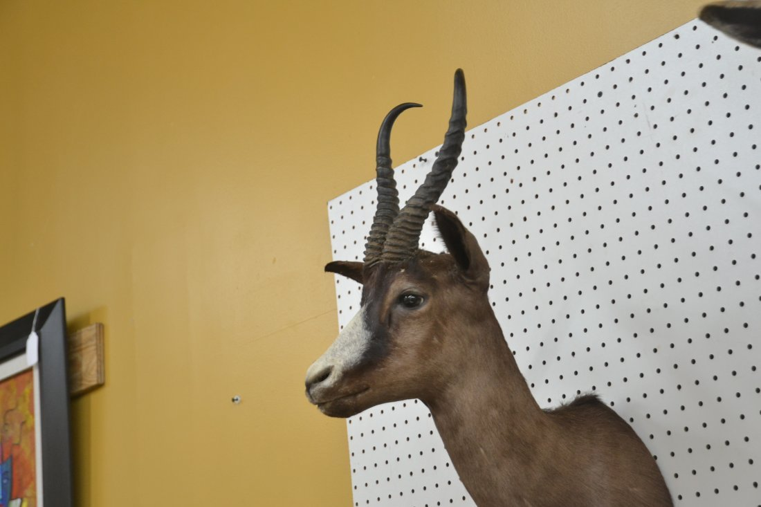 BLACK SPRINGBOK TAXIDERMY MOUNT - 4