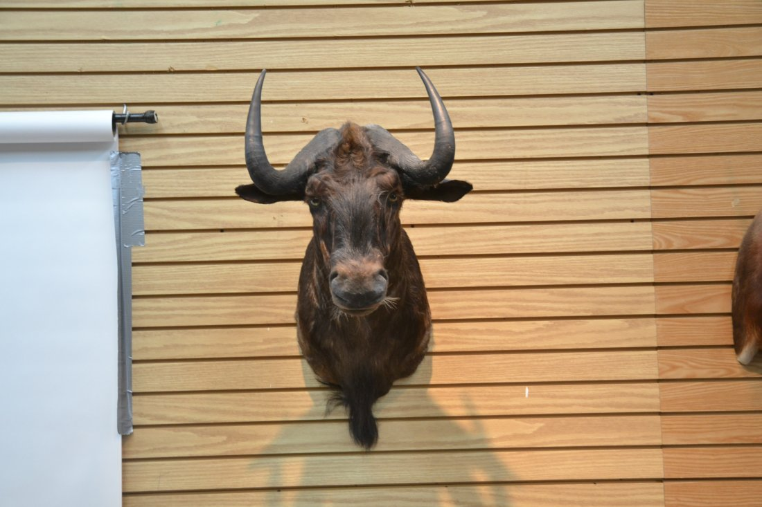 BLACK WILDEBEEST TAXIDERMY MOUNT - 2