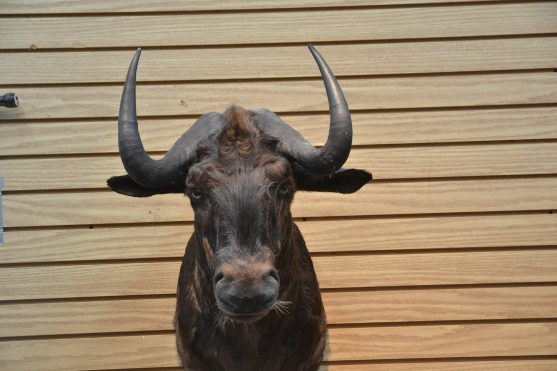 BLACK WILDEBEEST TAXIDERMY MOUNT - 3