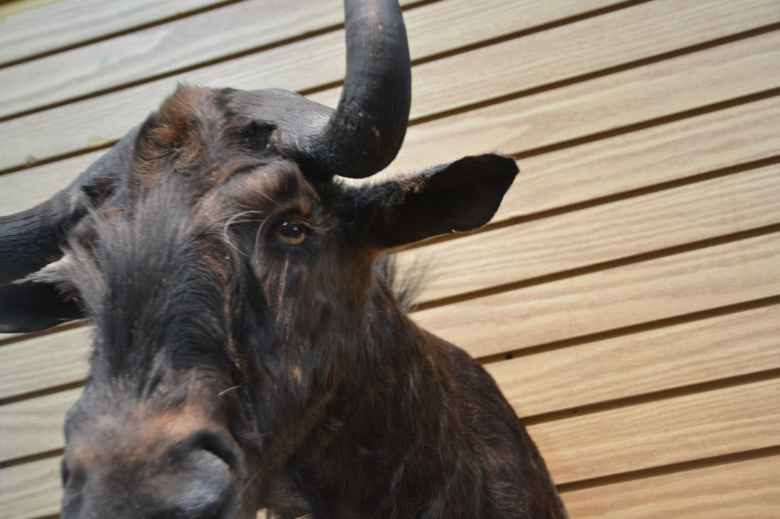 BLACK WILDEBEEST TAXIDERMY MOUNT - 7
