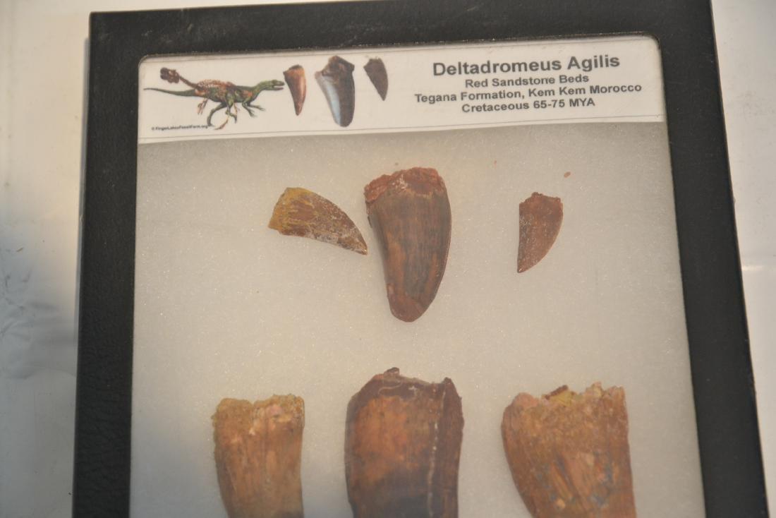 DELTADROMEUS AGILIS , CARCHARODONTOSAURUS - 3