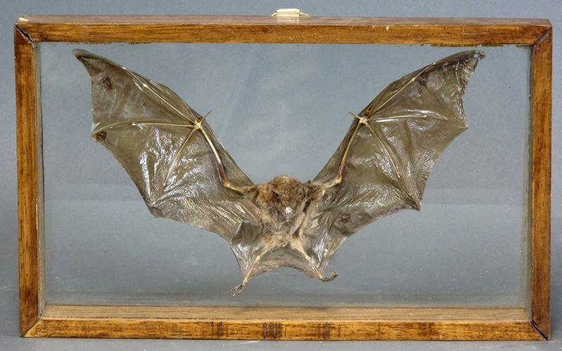 246A: VICTORIAN TAXIDERMY - CASED BAT