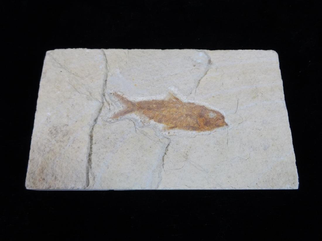 "WARFIELD FISH FOSSIL, APPROX 3"" X 5"""