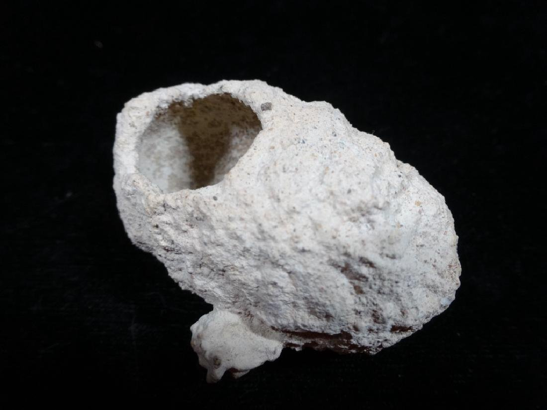 FOSSIL WEEVIL PUPAL CASE, LEPTOPIS DUPONTI,