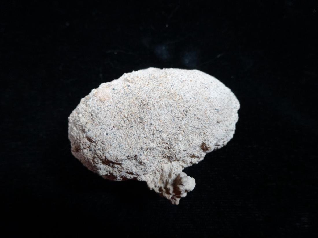 FOSSIL WEEVIL PUPAL CASE, LEPTOPIS DUPONTI, - 3