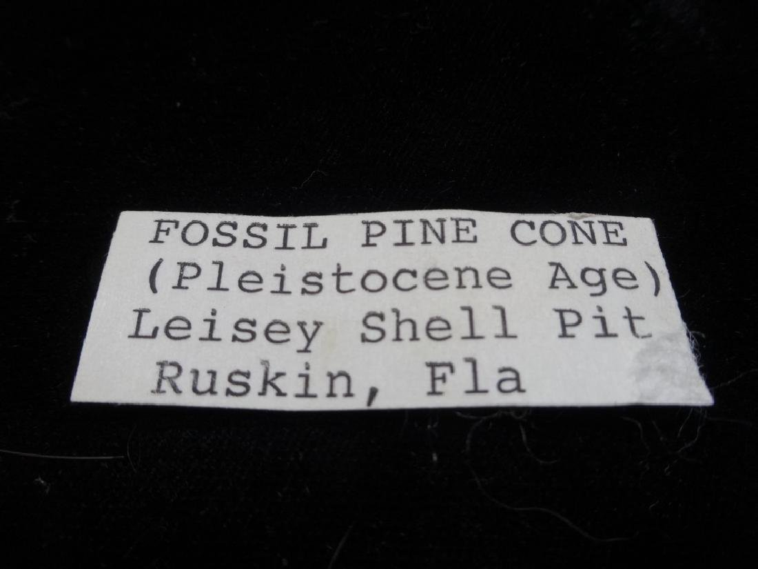 FOSSIL PINE CONE, PLEISTOCENE AGE, LEISEY SHELL PIT, - 4