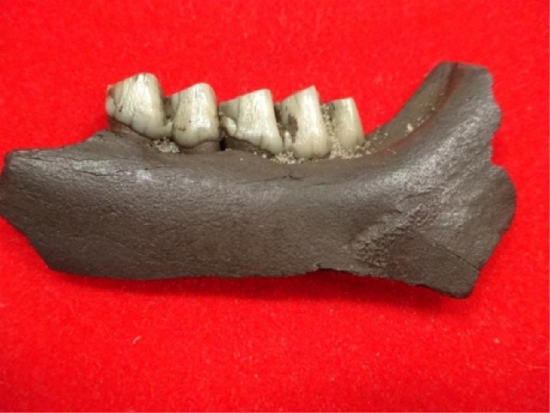 """FOSSIL DEER JAW, APPROX 2 3/8""""L, IN PLASTIC CASE APPROX"""