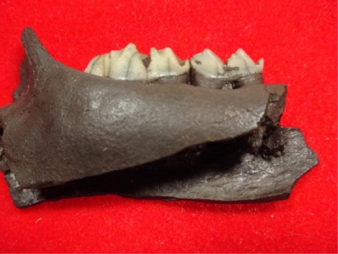 """FOSSIL DEER JAW, APPROX 2 3/8""""L, IN PLASTIC CASE APPROX - 3"""